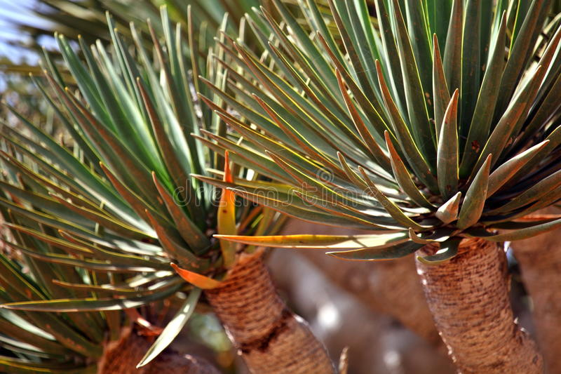 Spiky leaves of Dragon tree. Dracaena cinnabari - Dragon's blood - endemic tree from Socotra, Yemen royalty free stock image