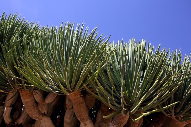 Spiky leaves of Dragon tree. Dracaena cinnabari - Dragon`s blood - endemic tree from Socotra, Yemen stock image