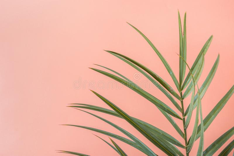 Spiky Palm Tree Leaf on Pink Peachy Wall Background. Room Plant Interior Decoration. Hipster Funky Style Pastel Colors. Seaside Vacation Fun Wanderlust Fashion stock photo