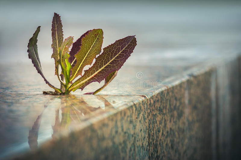 Spiky plant growing through pavement. Crack on the sidewalk. Nature adaptation in an urban environment. Life triumph royalty free stock photo