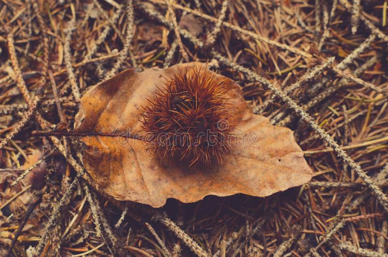 A spiky plant piece on a fallen leaf royalty free stock image