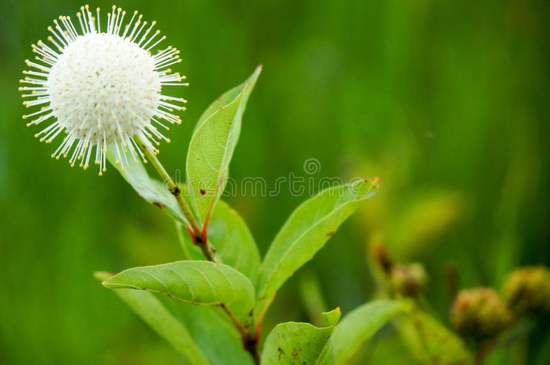 spiky swamp plants in the marsh royalty free stock images