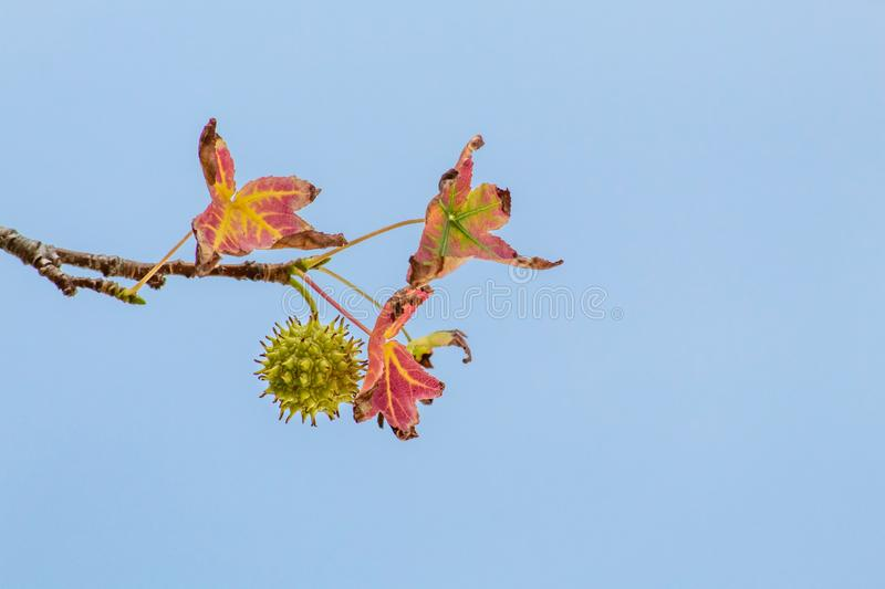 Spiky Sweetgum Seed Pod with Red Autumn Leaves on a Blue Sky royalty free stock photography