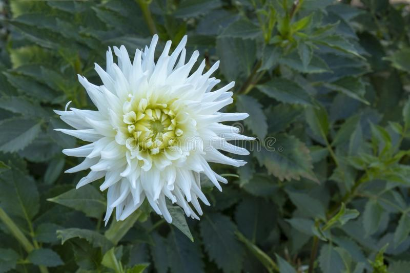 Spiky White dahlia. View of a spiky White Dahlia on a leafy background in full bloom royalty free stock images