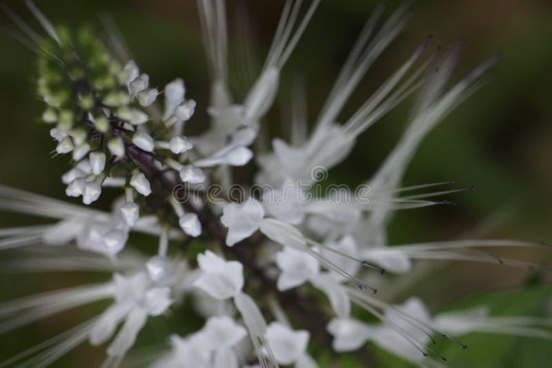 Spiky White För Blomma Arkivbild