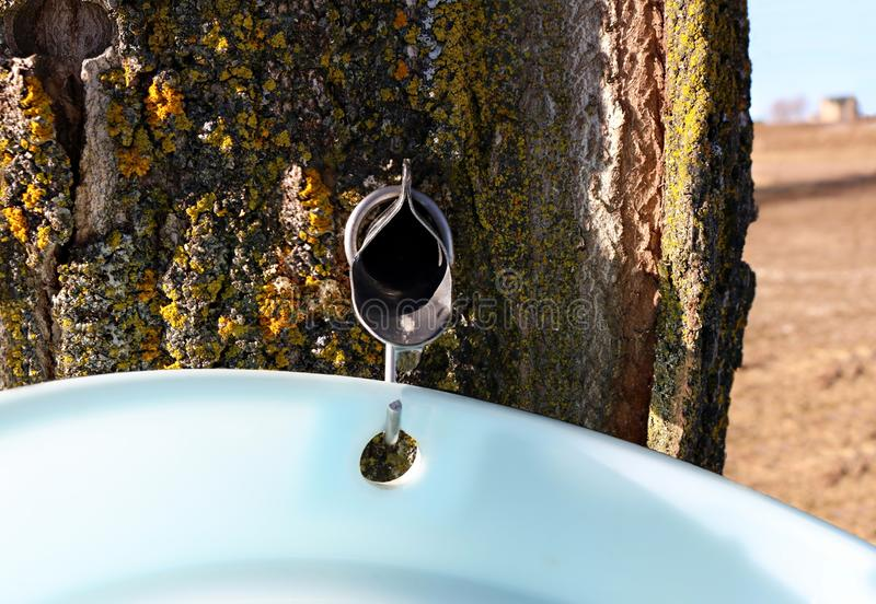 Spile tapped in hard maple treee with sapp running into pail. Close-up of metal maple syrup tapping spile in tree with sap dripping into plastic pail with field stock photo