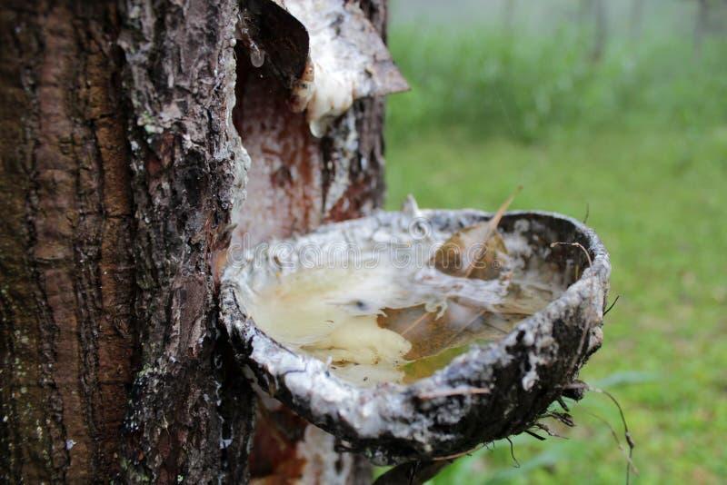 Spillatura dell'albero di gomma fotografie stock