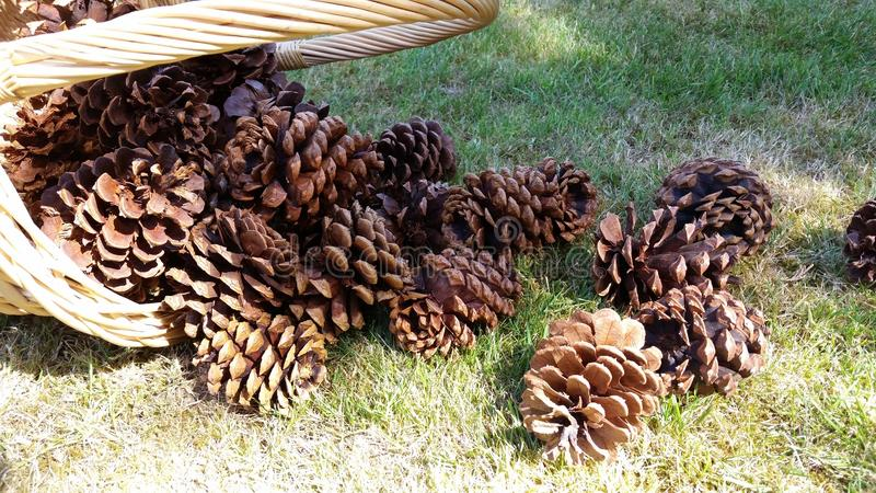 Spilled basket of pinecones royalty free stock photos
