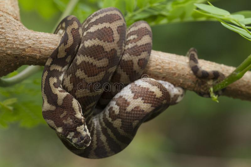 Spilota de Morelia de python de tapis photo stock