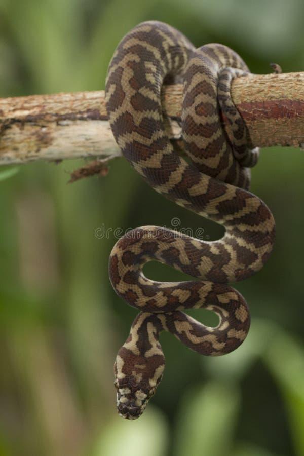 Spilota de Morelia de python de tapis photo libre de droits