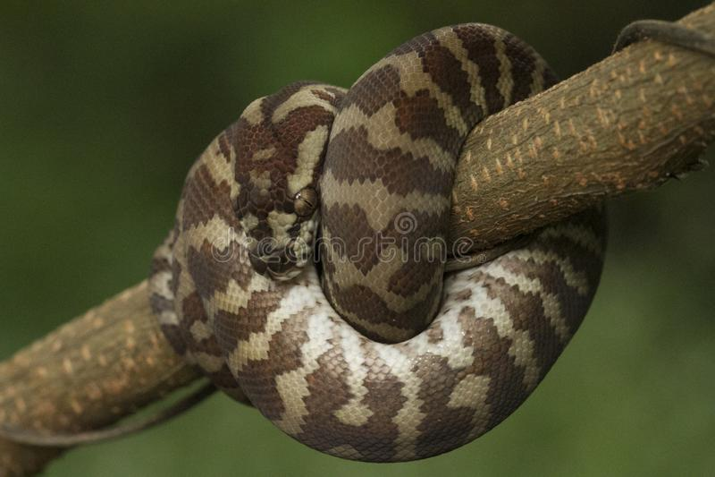 Spilota de Morelia de python de tapis photos stock