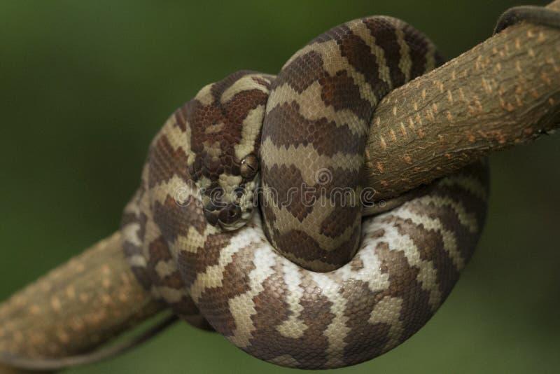 Spilota de Morelia de python de tapis images stock