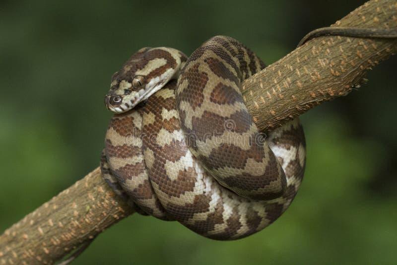 Spilota de Morelia de python de tapis images libres de droits