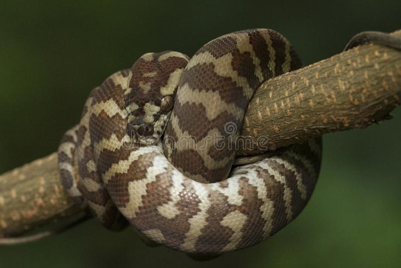Spilota de Morelia de python de tapis photos libres de droits