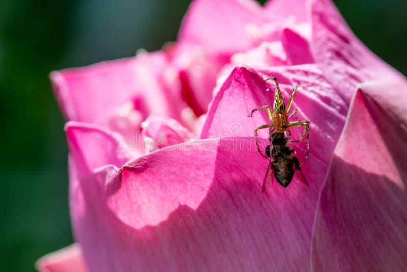 spin die bij op lotusbloembloemblaadje vangen stock afbeeldingen