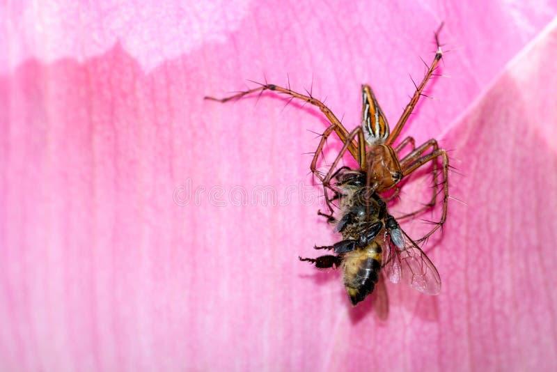 spin die bij op lotusbloembloemblaadje vangen royalty-vrije stock afbeeldingen