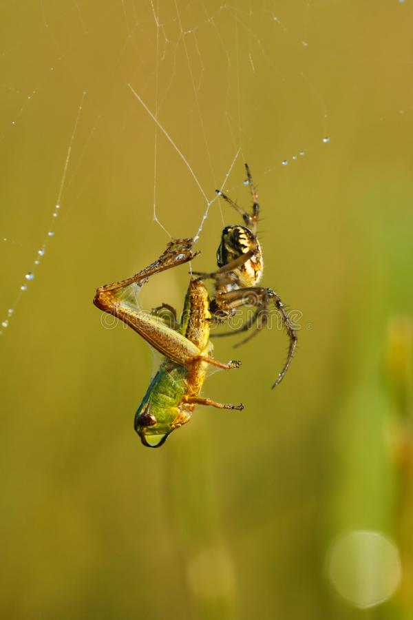 Spin die die een sprinkhaan doden in spinneweb wordt gevangen stock foto