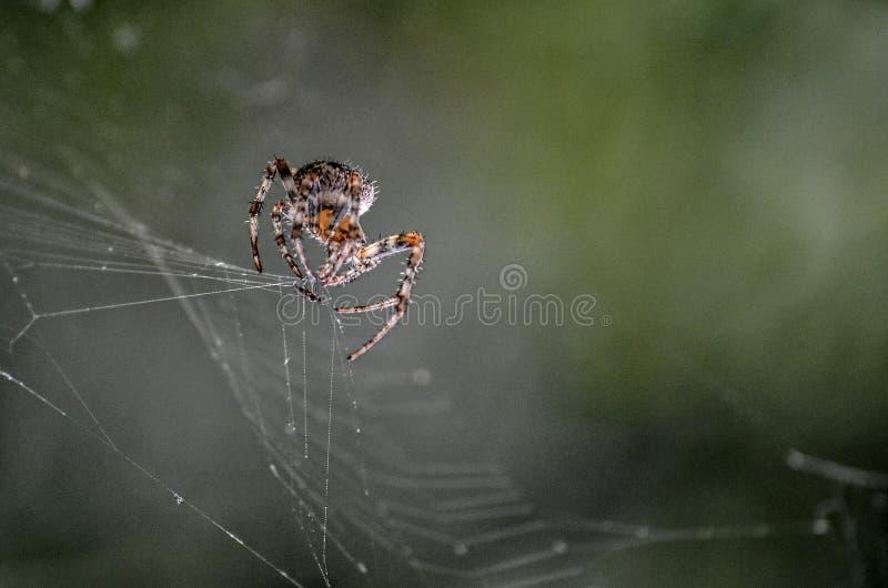 Spin die een prooi vangen stock afbeeldingen