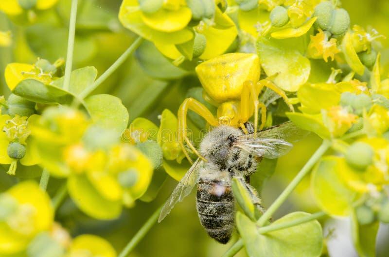 Spin die Honey Bee vangen stock foto's