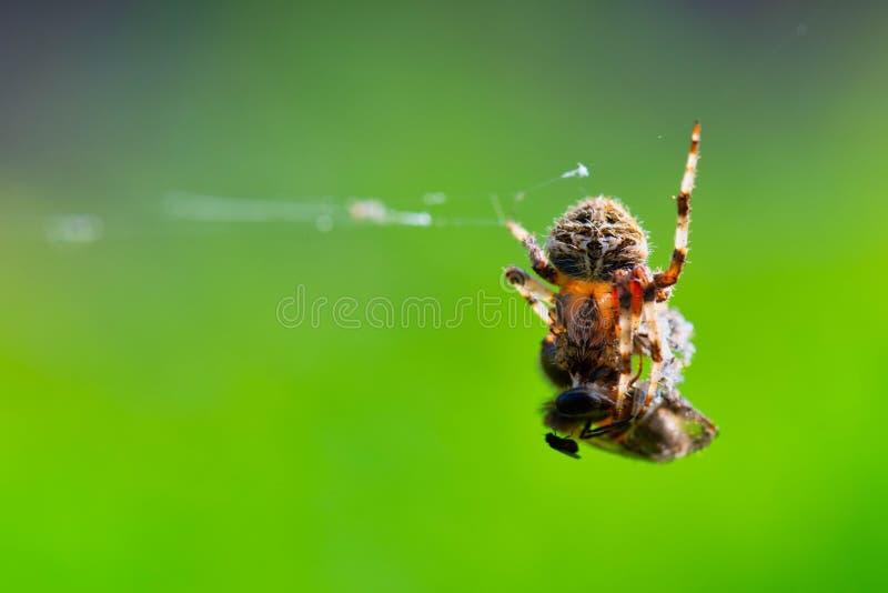 Spin die in zijn Web de vlieg van het slachtofferhuis, macroschot eten stock afbeeldingen