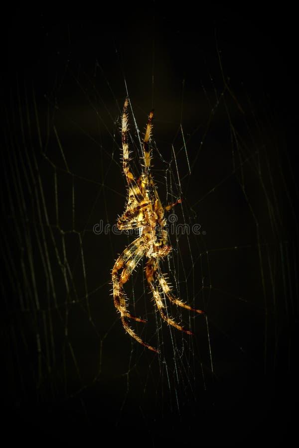 Download Spin op spinneweb stock afbeelding. Afbeelding bestaande uit wildlife - 54081575