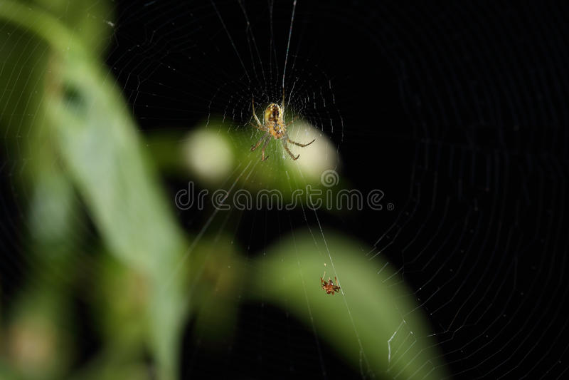 Spin op Web die klaar voor een geïsoleerde snack worden stock fotografie