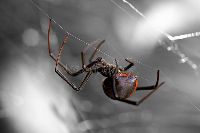 Spin, Redback of Zwarte weduwe stock afbeeldingen