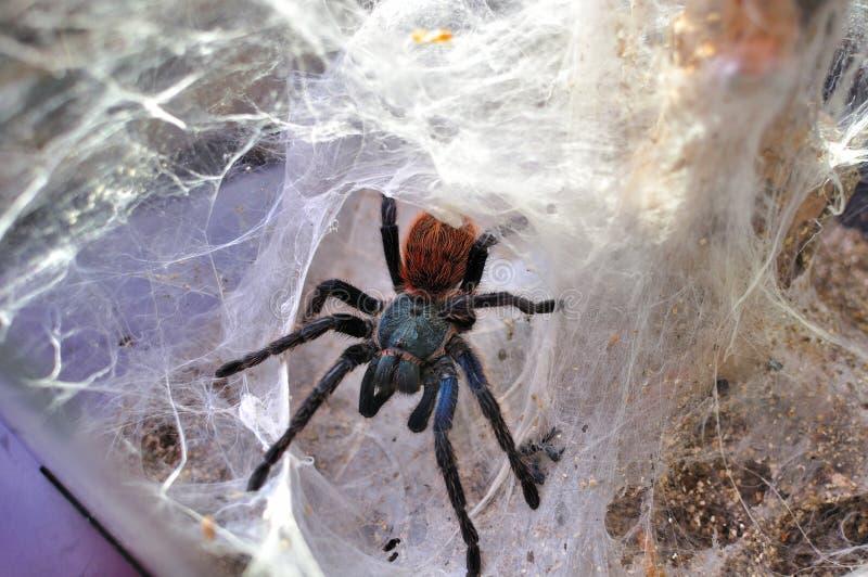 Spin van de Greenbottle de blauwe tarantula Chromatopelma cyaneopubescens royalty-vrije stock foto's