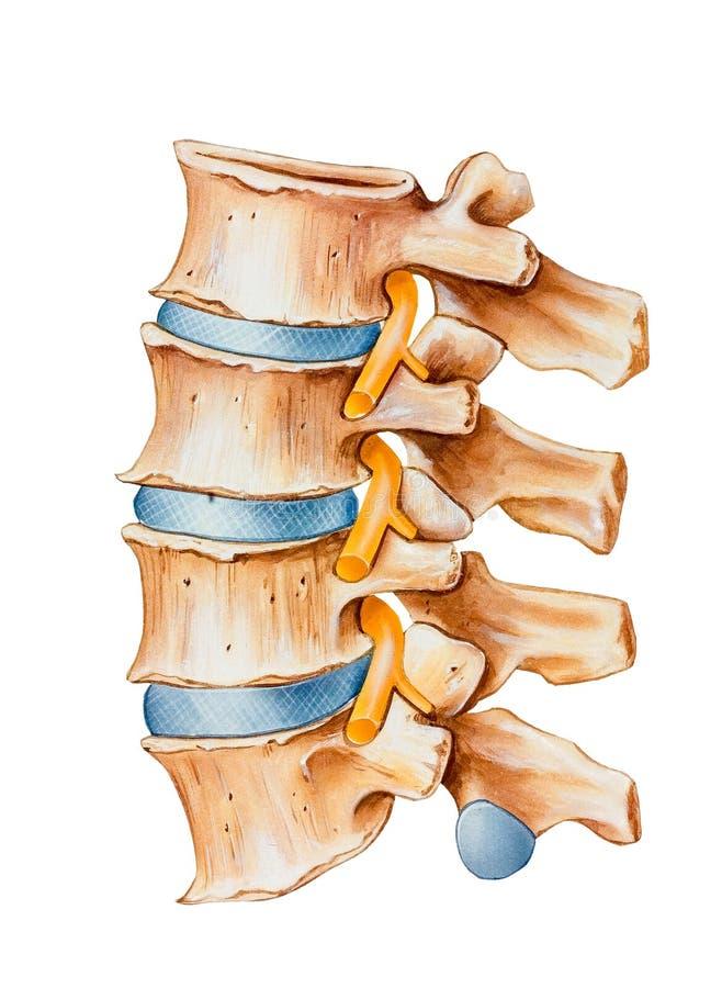 Spina dorsale - irritazione del nervo spinale fotografia stock