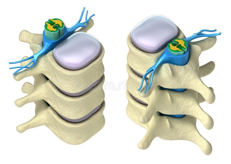 Spina dorsale umana in dettaglio illustrazione vettoriale