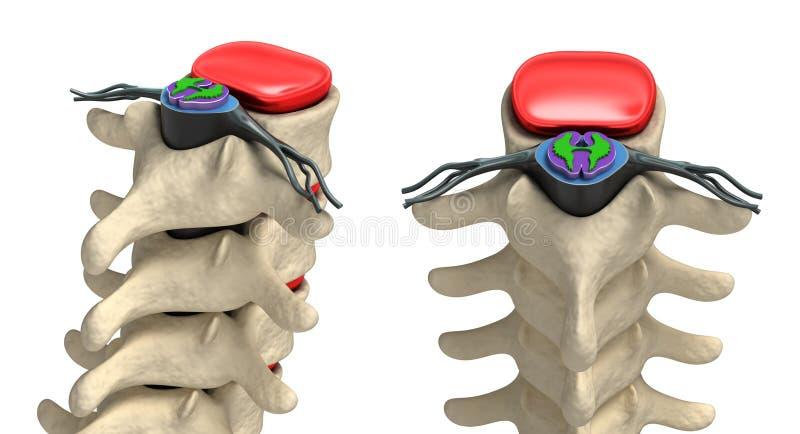 Spina dorsale umana in dettaglio: Vertebra, midollo osseo illustrazione di stock