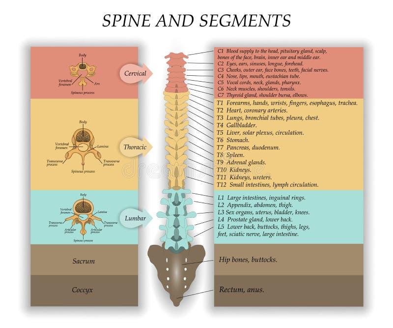 Spina dorsale umana nella parte anteriore, diagramma con il nome e descrizione di tutte le sezioni delle vertebre e dei segmenti, illustrazione di stock