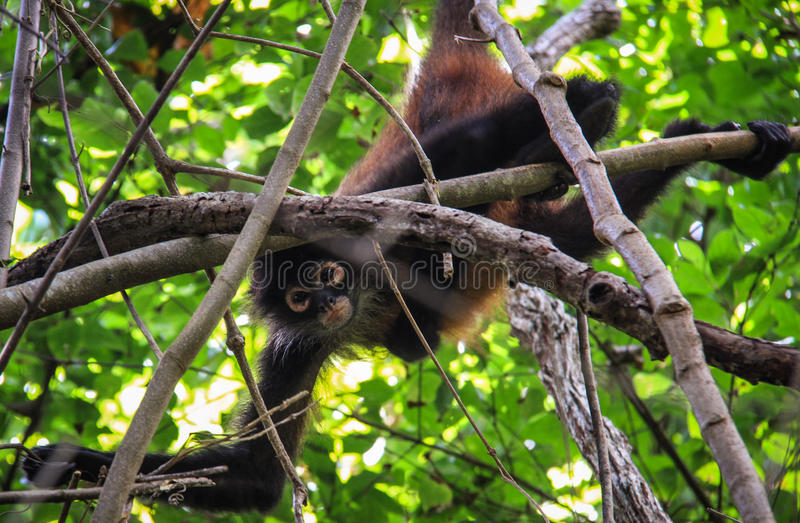 Spinaap, Corcovado-Park, Costa Rica royalty-vrije stock foto's