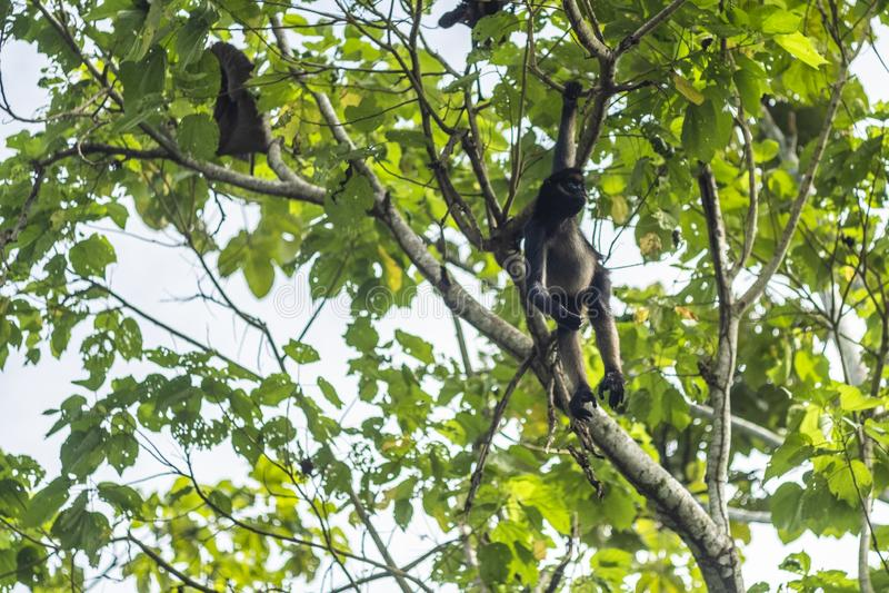 Spinaap het letten op van een boom in Ecuatoriaans Amazoni? MisahuallÃ, Ecuador stock afbeelding