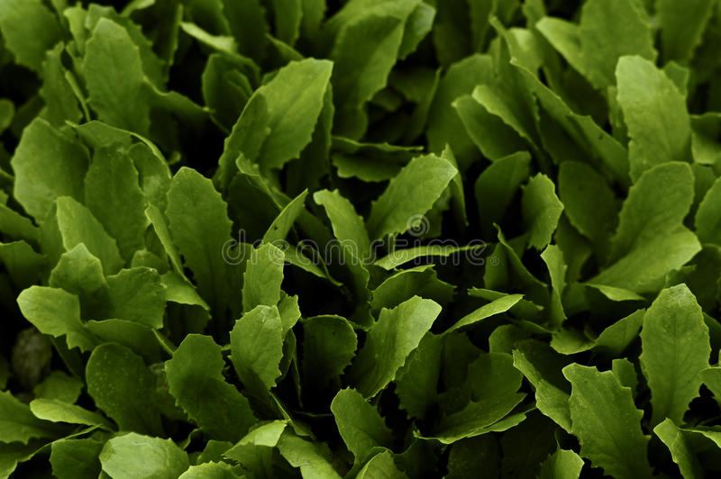 Download Spinach stock image. Image of spinach, leaf, verdant - 14328811