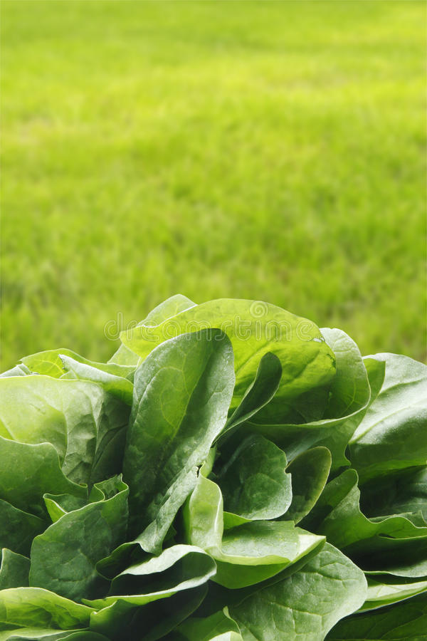 Download Spinach stock photo. Image of greens, nutrition, leaf - 18180880