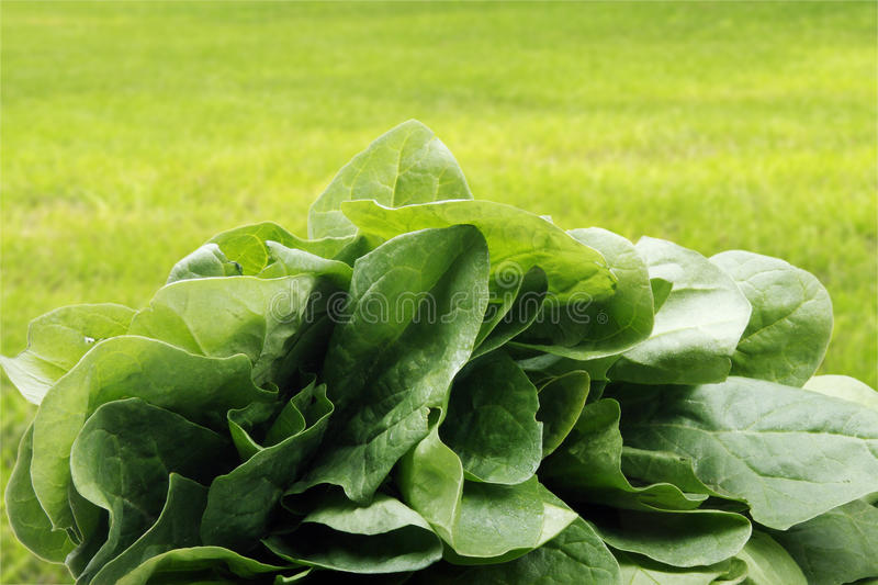 Download Spinach Stock Photos - Image: 18180913