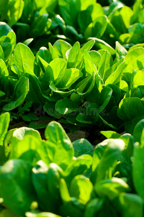 Free Spinach Royalty Free Stock Photography - 22641517