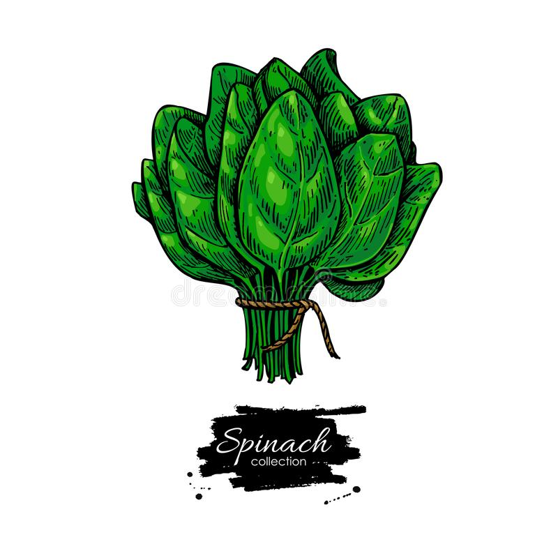 Spinach bunch hand drawn vector. Vegetable illustration. Isolated leaves drawing on white background. Detailed botanical drawing. Farm market product stock illustration