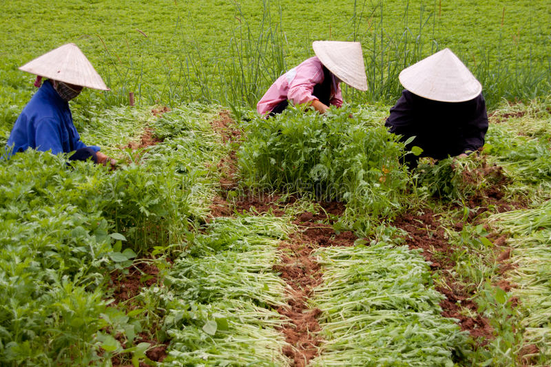 Spinach farm in Vietnam royalty free stock image