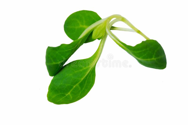 Spinach leaves close up isolated on white stock image