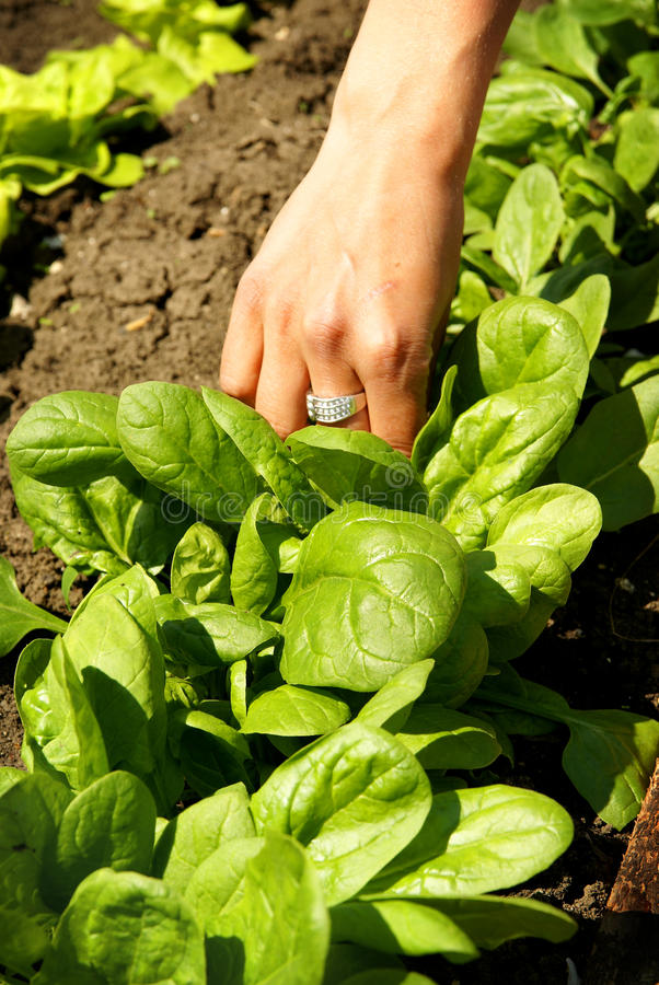 Spinach leaves, growing vegetables. Fresh green spinach leaves hand-picked in garden, agriculture vegetable background stock photos