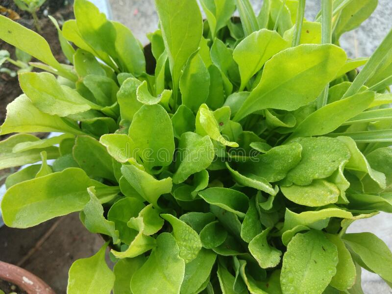 Spinach plants, in home garden. In the Day time, in mirpur Azad Kashmir royalty free stock photos