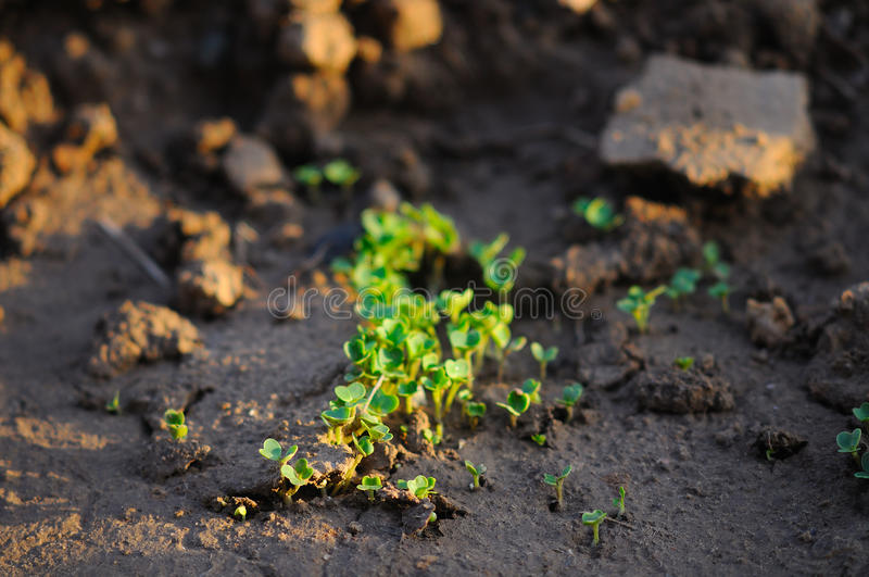 Download Spinach seedlings stock photo. Image of plants, soil - 24338240
