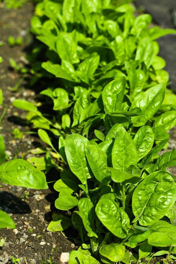 Spinaci freschi delle foglie verdi sul giardino fotografie stock libere da diritti