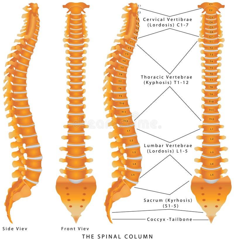 The Spinal Column. Diagram. Human spine from side and back with intervertebral discs marked. Vertebral column - including Vertebra Groups ( Cervical, Thoracic royalty free illustration