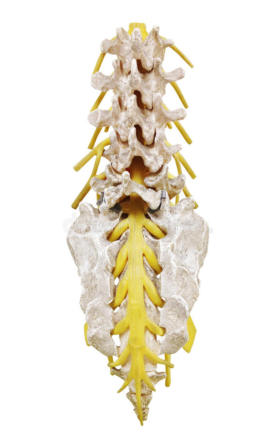 Spinal Column royalty free stock photo