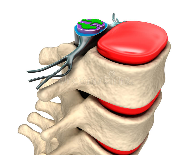 Spinal column with nerves and discs. vector illustration