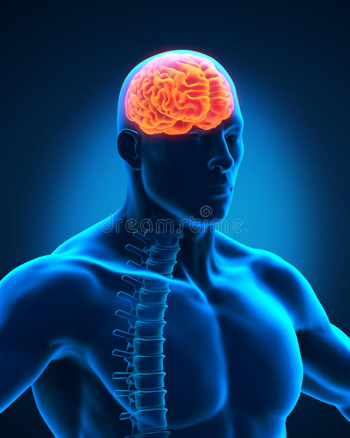 Spinal Cord And Brain Anatomy Stock Photos