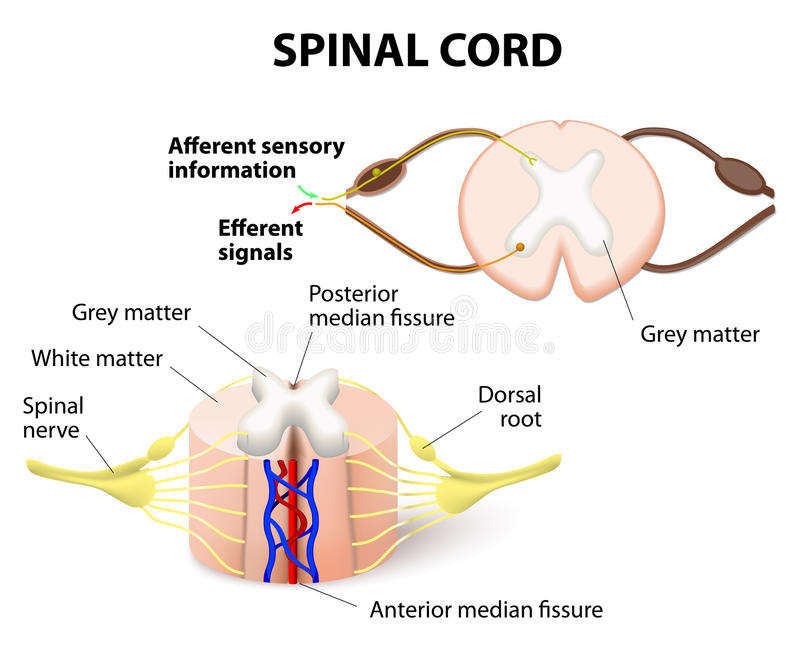 Spinal cord. Cross-section of spinal cord. Central nervous system